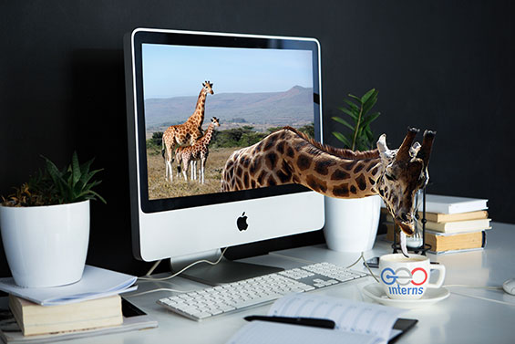 Giraffe Comes Out of Computer Screen